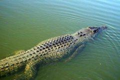 crocodile13.jpg
