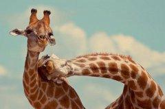giraffe14.jpg