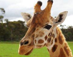 giraffe15.jpg