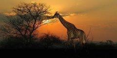 giraffe16.jpg
